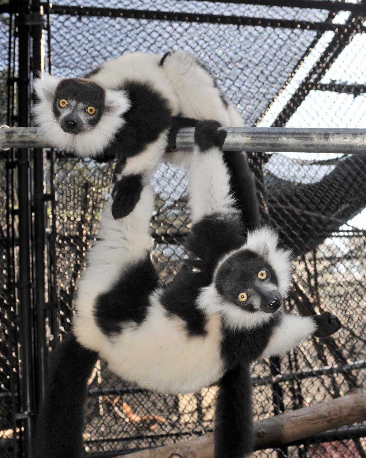Duke Lemur Center Tours