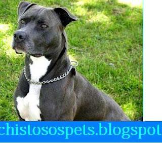 imagenes chistosas de pitbull - Perros pitbull Imágenes graciosas y divertidas