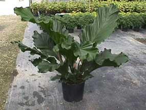 Anthurium Plowmanii Ruffles