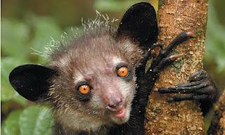 http://1.bp.blogspot.com/_eCQvgVjNcYo/SeOFkNDfuaI/AAAAAAAAAWA/L8hrKSilVbQ/s320/Aye-aye-lemur-edward-e-louis-jr-460.jpg.jpg