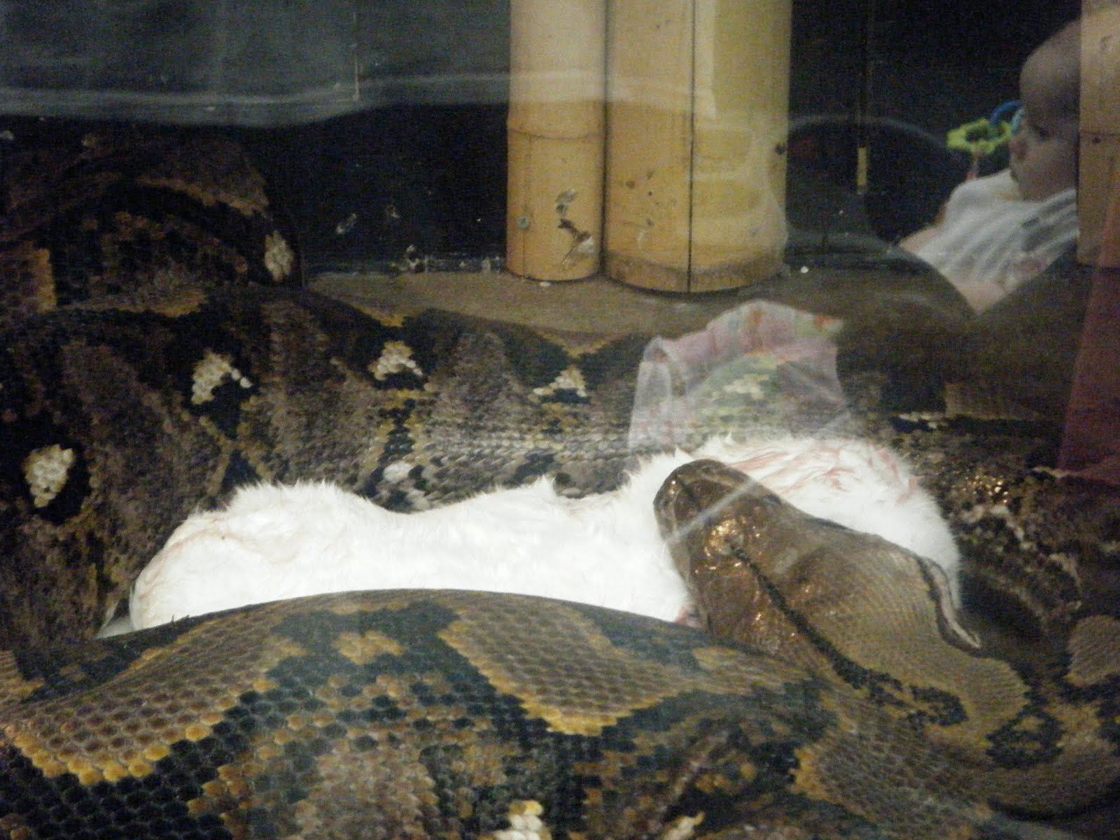 Giant Snakes Eating Humans Images & Pictures - Becuo