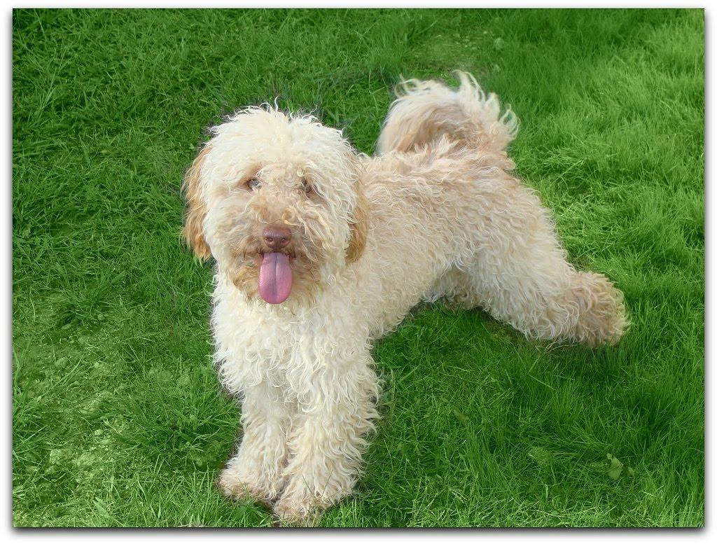 Australian Labradoodle Puppies: Australian Labradoodle ...