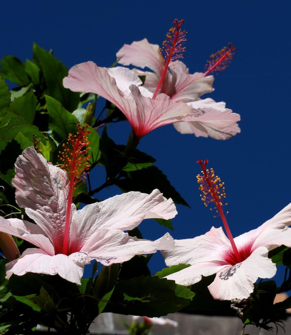 jardins cosmopolites la plante de la semaine l 39 hibiscus rosa sinensis jardin botanique d. Black Bedroom Furniture Sets. Home Design Ideas