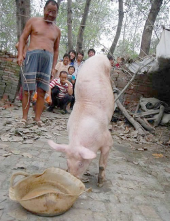 a piglet walks with two legs