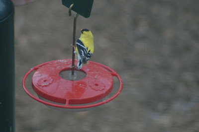 Chickadee Hummingbird Feeder Visit Hummingbird Feeder