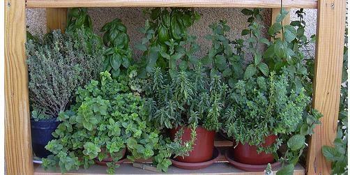 La cocina de la longevidad saludable plantas aromaticas y - Plantas aromaticas en la cocina ...