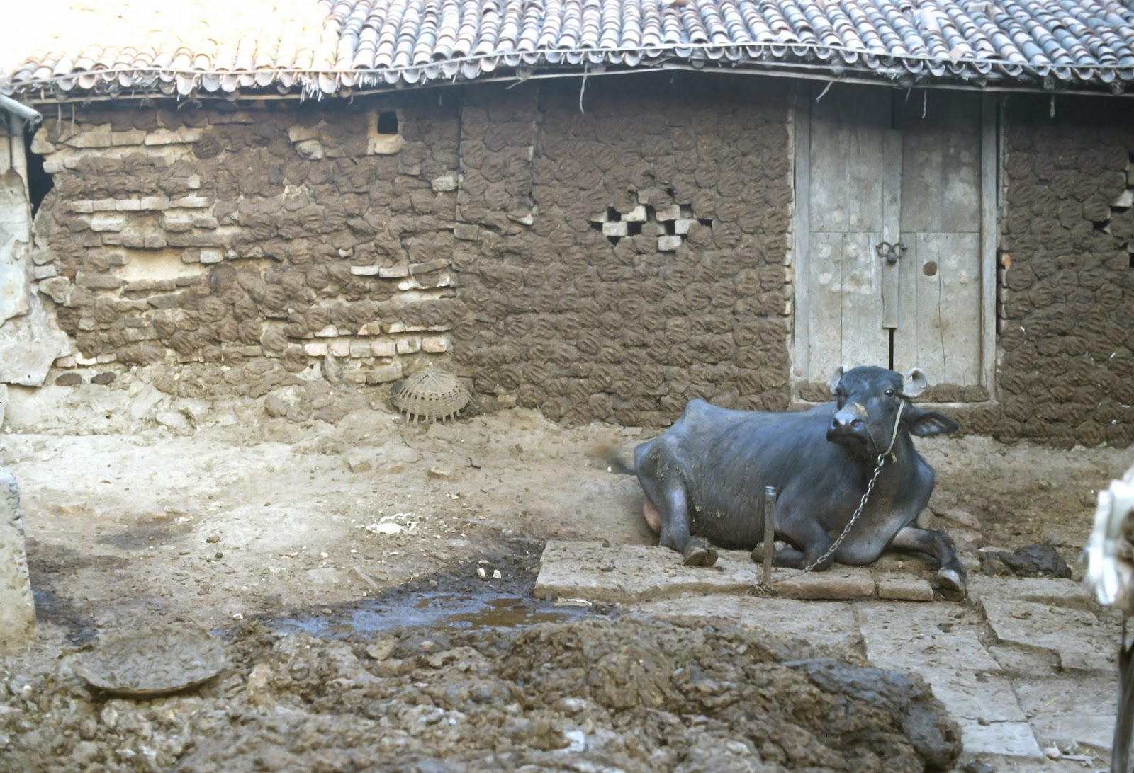 MY WABI LIFE: COW DUNG