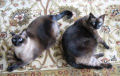 My Siamese Cats: Mariah &amp; Lily