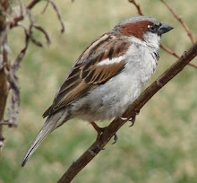 The joys of being an ordinary, Indian sparrow