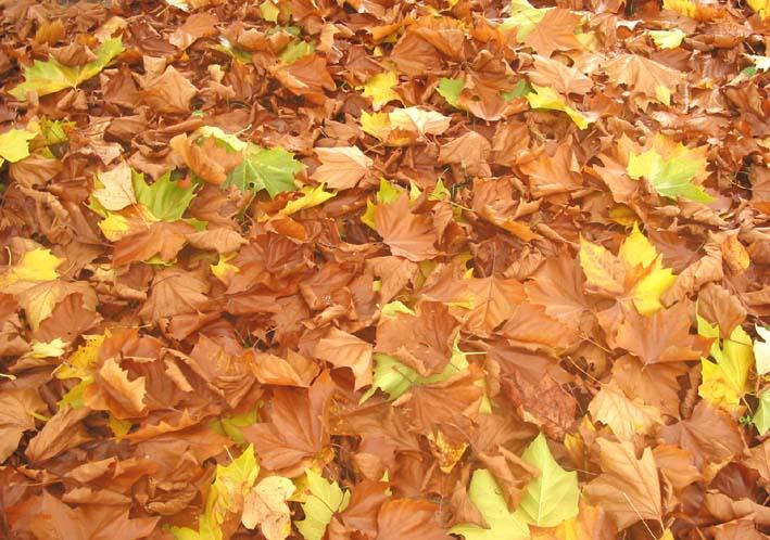 Sonbaharda yapraklar nicin sararirlar sonbahar doneminde agaclar