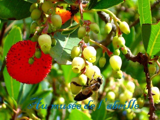 Abeille sur fleur d'arbousier
