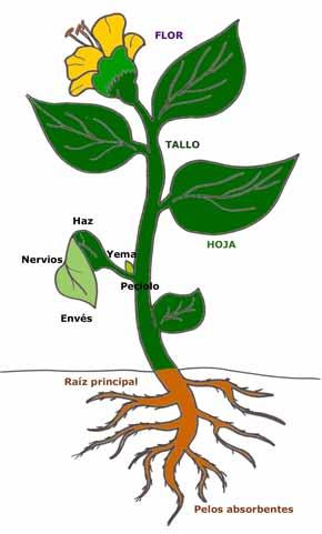 Tipos de plantas angiospermas la planta del frijol for Plantas para estanques de peces
