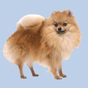 http://1.bp.blogspot.com/_eYl3G1EYGr0/SZrn-No4VZI/AAAAAAAAAyw/CmULKfQQOxo/s320/razas-perros-pomerania-spitz-enano-aleman.jpg