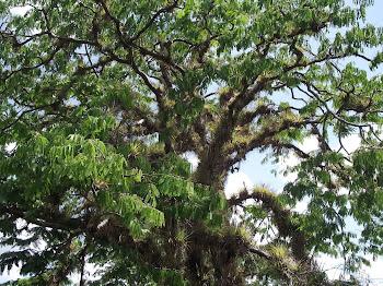 Árvore hospedeira