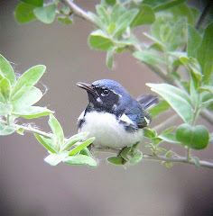 Khanh's Black Throated Blue warbler