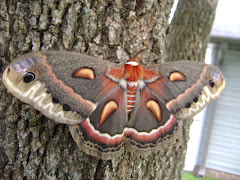 Cecropia in my yard