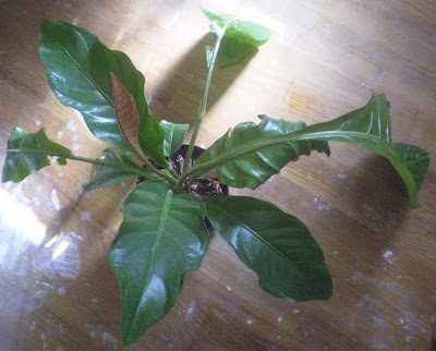 Large Leaf House Plant Pictures House And Home Design
