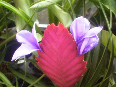 Plants are the strangest people pretty picture tillandsia cyanea plants are the strangest people pretty picture tillandsia cyanea flowers mightylinksfo