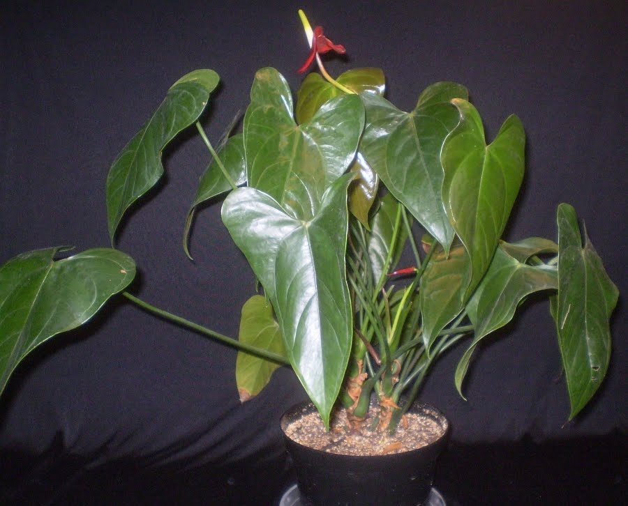 Plants are the strangest people list houseplants with large broad leaves - Big leaf indoor plants ...