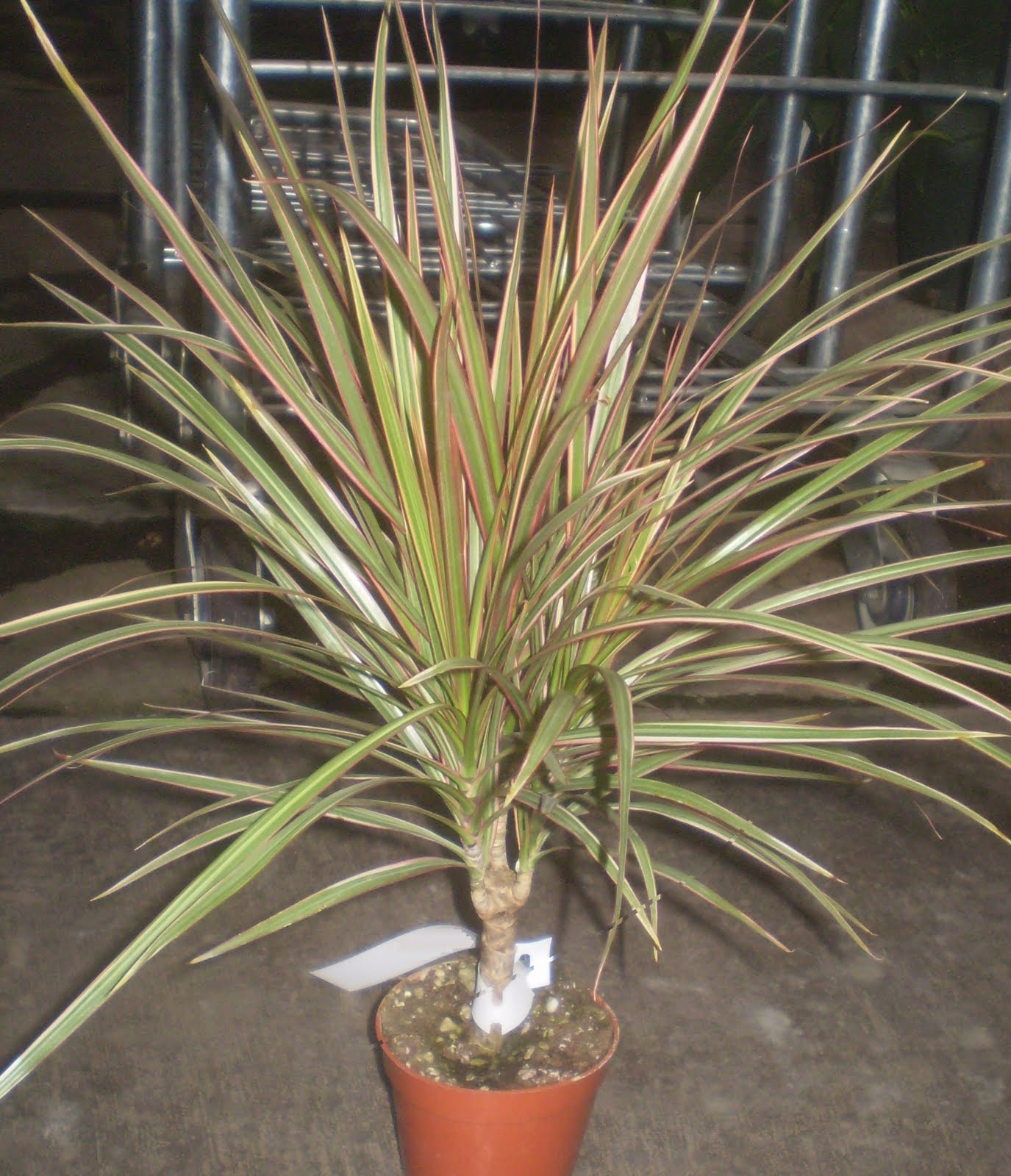 6 character stump dracaena