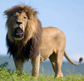 http://1.bp.blogspot.com/_ebfcSpYx2ZM/TS7HKCejzGI/AAAAAAAAADU/EZKFqU3NtkU/s1600/africa_tz_lion2.jpg