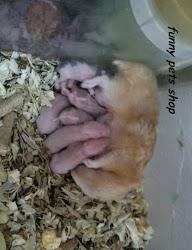 Hamster Syrian Sinh Sản