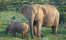 Nueva especie de elefante en África