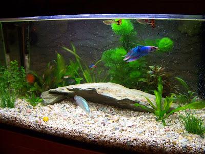 Peces tropicales acuario raul carlos acuario foto for Temperatura para peces tropicales acuario