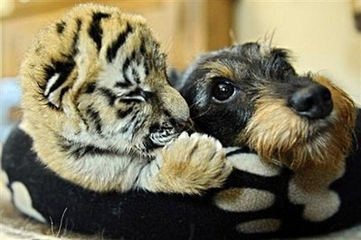 Dachshund with baby tiger