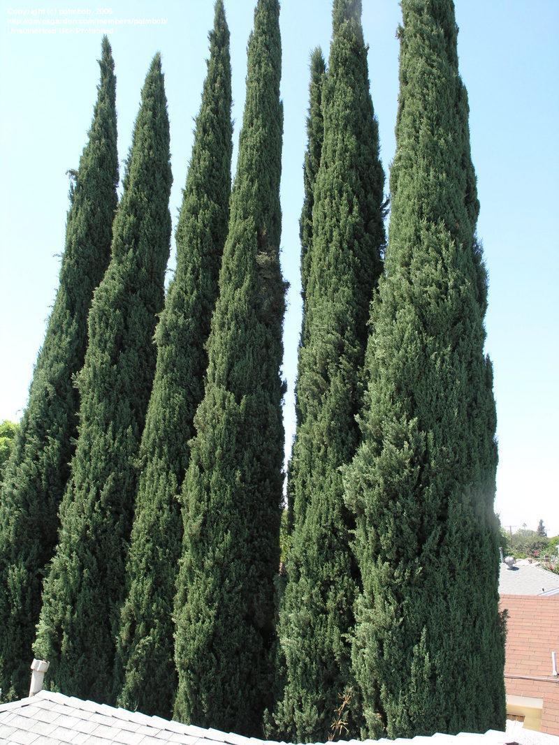 Mundo jardin cipr s for Jardin cipres