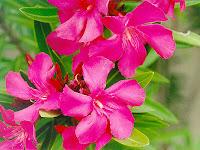 flor de la adelfa