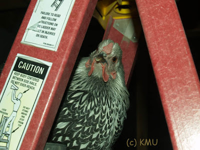 Silver Laced Wyandotte Hen on ladder