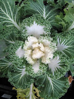decorative kale