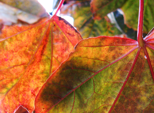 plum leaves in fall
