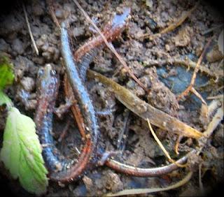 two salamanders
