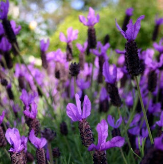 Stop and Smell the Lavender