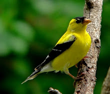 Gold Finch Male