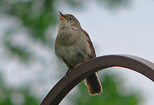 House wren