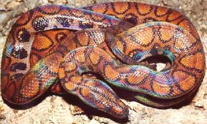 that the brazilian rainbow boa makes a poor choice for a pet snakeBrazilian Rainbow Snake