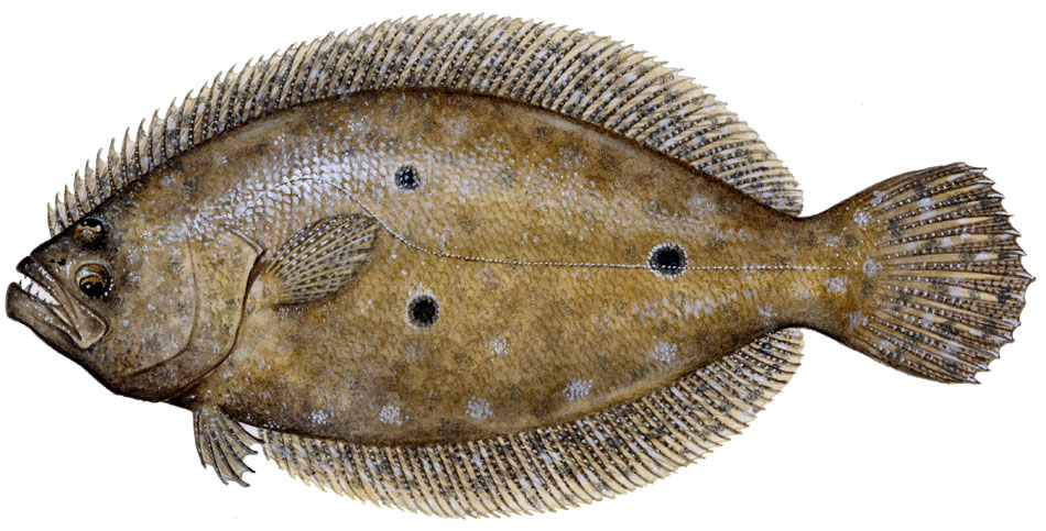 Sharkbait gulf flounder for Picture of a flounder fish