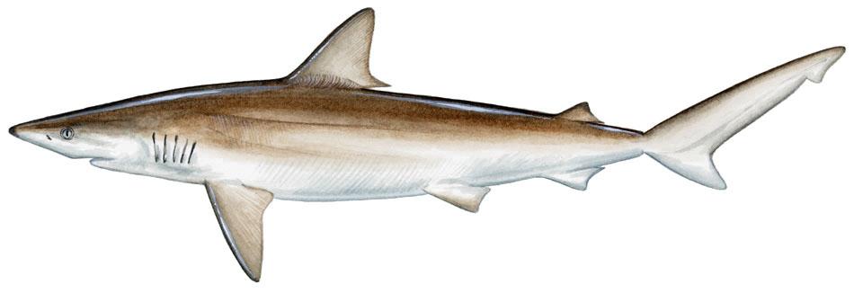 sharkbait blacknose shark