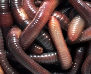 [red+wigglers]