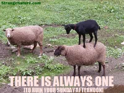 Sheep Funny Funny Black Sheep Standing on