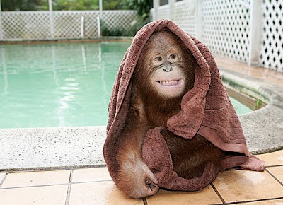 funny monkey by the swimming pool