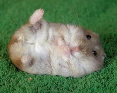 Cute+hamster.jpg