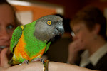 Scout the Parrot