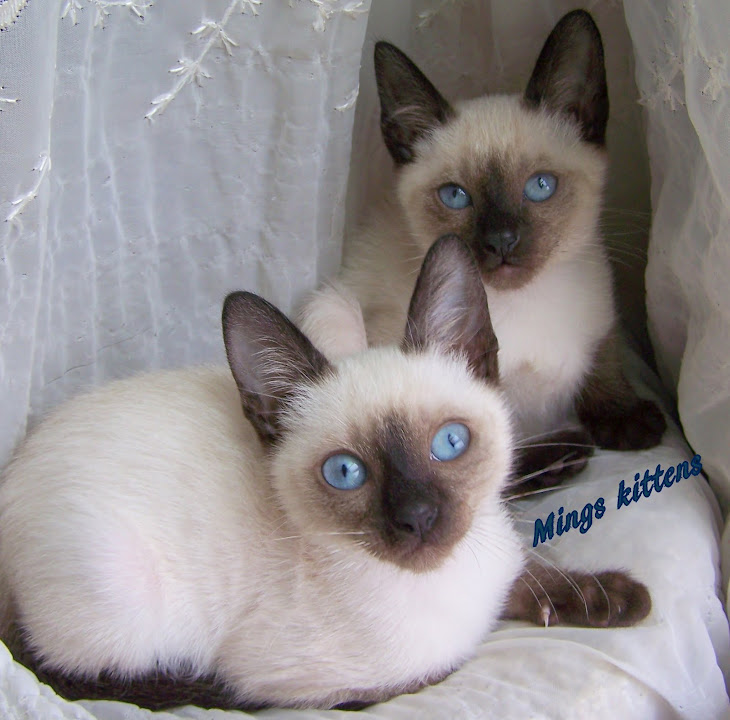 Mings seal pt kittens . 2009