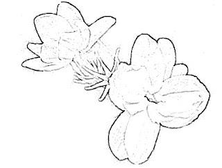 Jasmine Sketch
