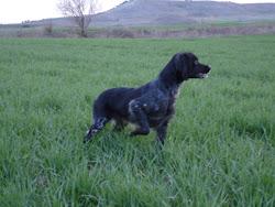 Brenda (16-05-2005) Pack de Turquel (Ch E-2003 y Tr. de caza práctica 2007) X Sena