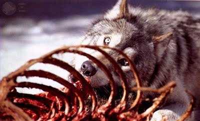 Wolf eating rabbit - photo#18